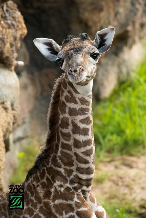allcreatures:  Photo Credits: Stephanie Adams/Houston Zoo (via What's New at the Houston Zoo? This Masai Giraffe Calf! - ZooBorns)   dawww.