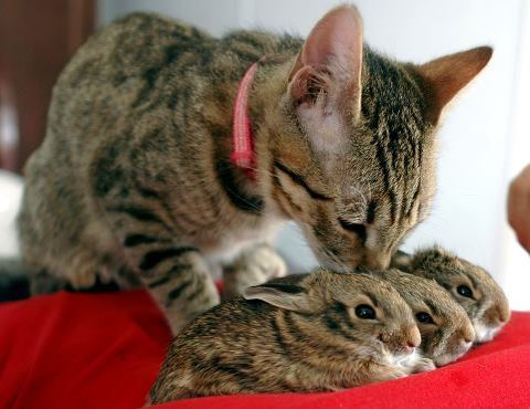 Cat and her adopted bunnies.