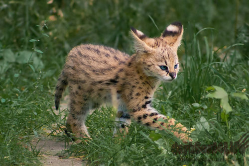 llbwwb:  Little Explorer by *darkSoul4Life. serval kitten