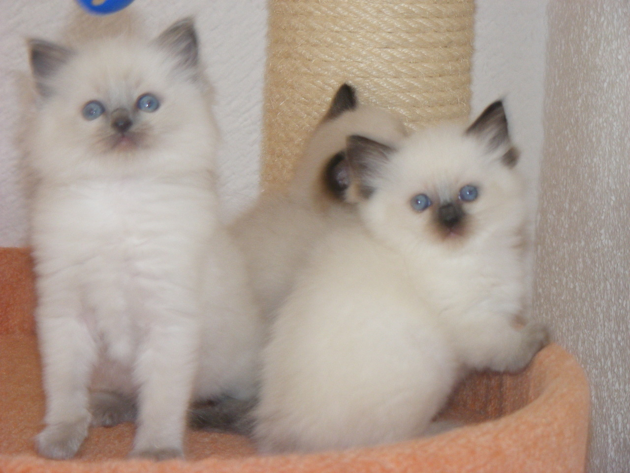 Ragdoll Darlings
