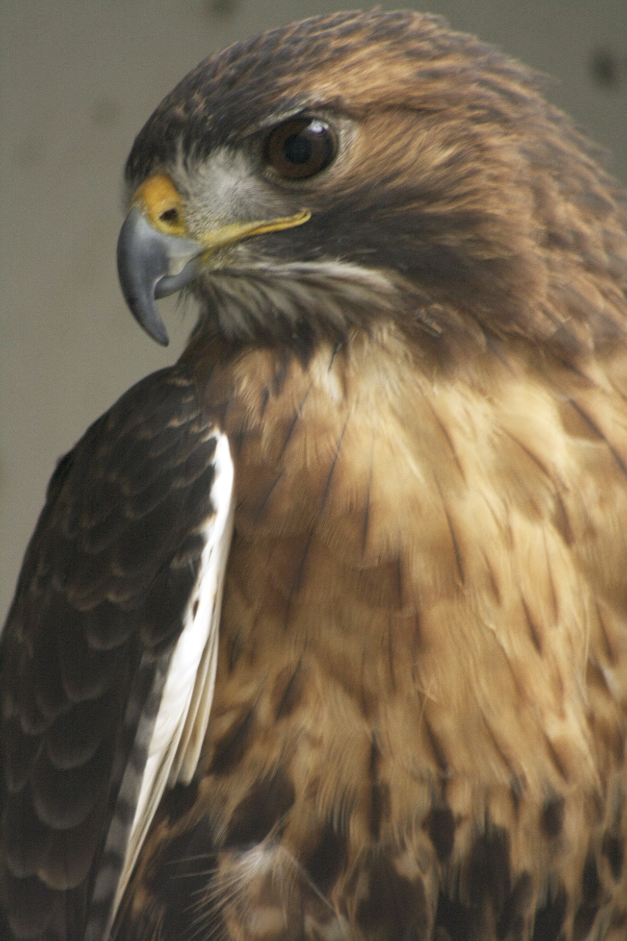 July 25, 2012 The Red-tailed Hawk is incredibly versatile. From small woodlots to roadsides (have you seen any on or near campus lately?), their distinctive red or rufous tail makes them a delight to see wherever you may be. —photo by Kaitlin Pope