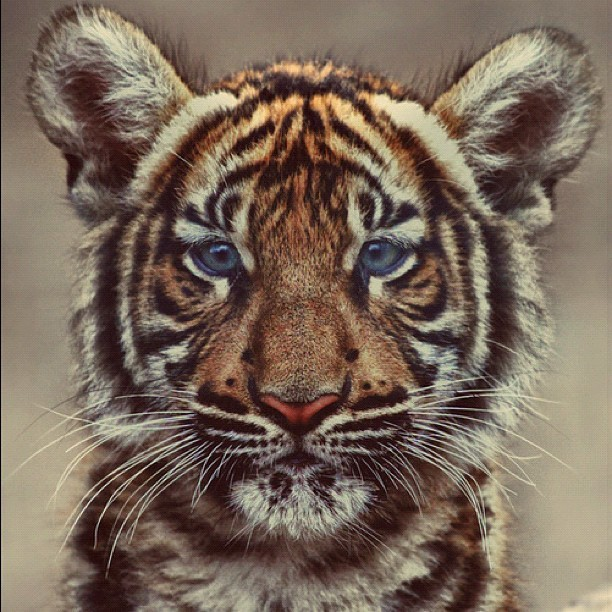 Beautiful! I want my own Tiger!!! lol 😏😏 #igers #instagood #iphonesia #photooftheday #tumblr (Taken with Instagram)