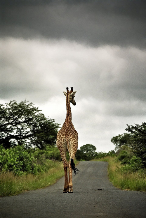 funkysafari:  Hangin' around in HluHluWe Game reserve, South Africa by bass_nroll