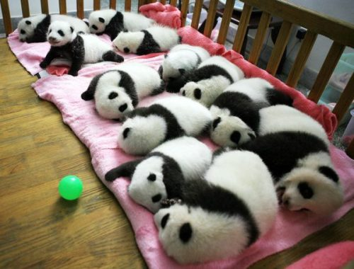A group of giant panda cubs napping at a nursery in the research base of the Giant Panda Breeding Centre in Chengdu, in southwest China's Sichuan province.