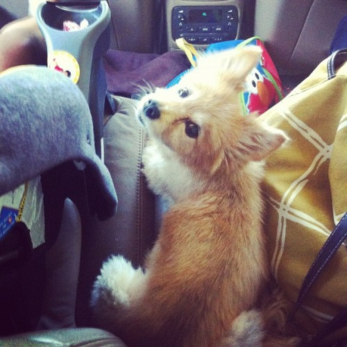 He's traveled nearly as much as I have. #petstagram #dog #pomeranian  (Taken with Instagram)