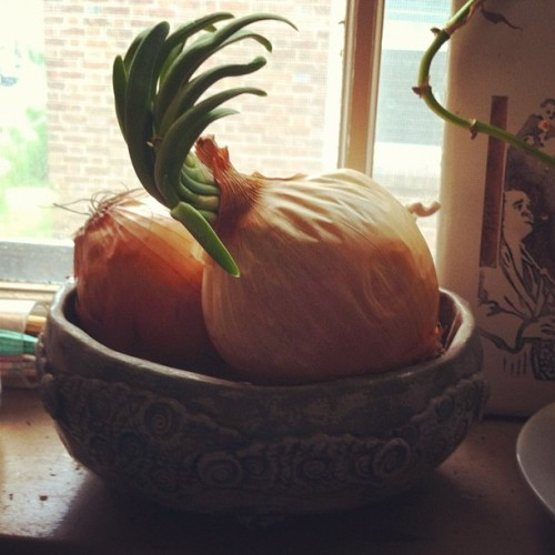 To my gardening friends: can I plant this and make new onions?? (Taken with Instagram)