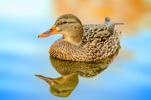 PHOTO OP: Duck With Reflection Via sansceriph.