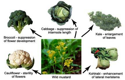 dailysciencefacts: So basically Kohrabi is wild mustard with artificially enlarged testicles? *Furrows brow, makes detailed notes*   Today's science fact is about wild mustard domestication. The plants we eat are, in most cases, nothing like their wild counterparts, having undergone significant selective breeding. One of the best examples of this is wild mustard. All of these foods are actually wild mustard, bred for different characteristics: Couliflower — enlarged, sterile flowersBroccoli — enlarged, immature flowersLettuce — enlarged terminal budKale — enlarged leavesKohlrabi — enlarged roots and lower stems In all cases, the parts of the plant not useful and often detrimental to human requirements have been reduced to almost nothing, through sheer selection. These plants are so different that they're no longer considered the same species, but it wasn't all that long ago that they were the same thing.