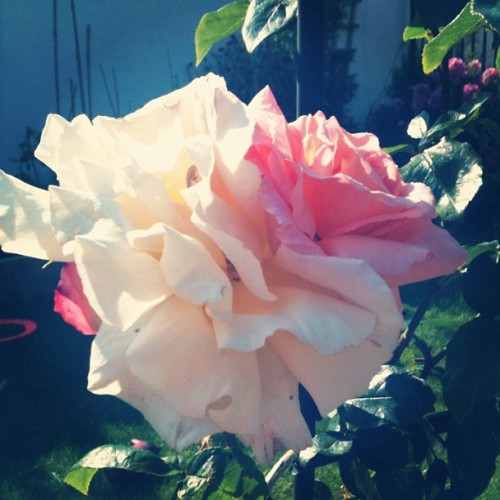 Hi rose (Taken with Instagram)