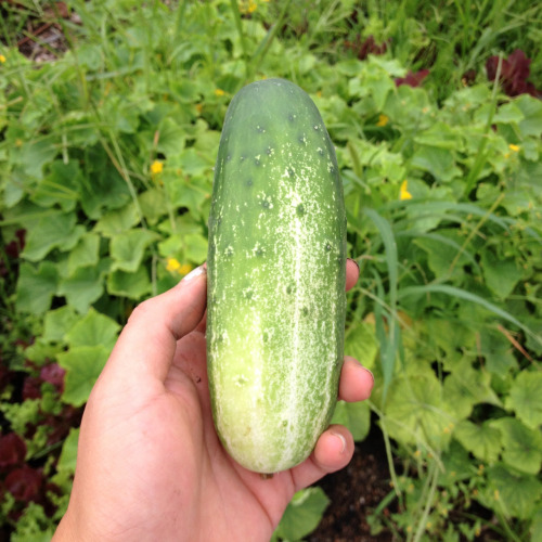farmlust:  Just picked! Need pickling brine recipe ASAP! Please share of you have one. :)