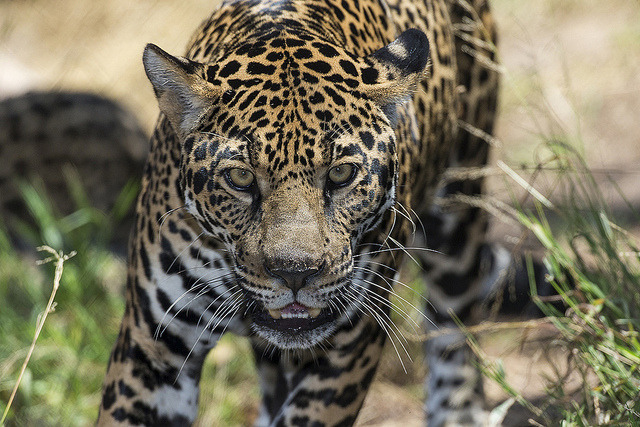 sdzoo:  Nindiri on Flickr. Jaguars are the largest cats in the Western Hemisphere and the third largest overall. Only lions and tigers are bigger.  Fact about me: I LOVES ME SOME JAGUARS. Great name, great look, great attitude. They are the Michael Shannon of big cats.