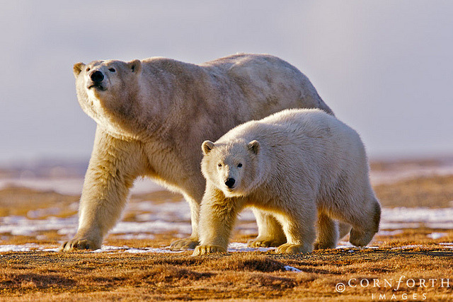 Barter Island Polar Bears 08 by Cornforth Images on Flickr.