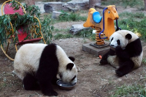 pandaspandas:  time to eat :)  ooohhh I wuv dem<33