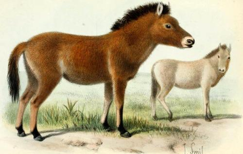 "biomedicalephemera:  Przewalski's Horse - Equus prjevalskii [disputed, generally accepted as Equus ferus przewalskii] The Przewalski's horse, or takhi, is the only ""true"" wild horse remaining in the world, and is distinct from Equus ferus ferus, the domesticated horse. Though Przewalski's horses and domesticated horses can interbreed and produce fertile offspring, the Przewalski's horse has an extra pair of chromosomes, distinctive dentition, and a convex profile (""Roman nose"") uncommon in most breeds of domestic horse. The subspecies is believed to have diverged from Equus ferus ferus around 125,000 years ago, but the two groups interbred for at least 25,000 years before true geographical isolation began. The discovery of the takhi in the Mongolian steppes in 1881 was followed by the collection of entire herds through hunting and rounding up to be kept in zoos. The last wild herd was spotted in 1967, and the last individual was spotted in 1969. The most genetically diverse captive herd (living in Askania-Nova in Ukraine) was slaughtered by former German soldiers in the late 1940s for unknown reasons. Fortunately for conservation efforts, the very few individuals remaining in the world by 1977, when the species was declared ""Extinct in the Wild"", proved to be very healthy, at least in terms of genetic vitality. Careful breeding programs started by the Foundation for the Preservation and Protection of the Przewalski's Horse (FPPPH) in that same year ensured that the genetic diversity remained as strong as possible, given the tiny population. Twelve to fifteen individuals managed to produce small herds in several zoos and preserves, and the population grew at a steady pace for a decade and a half, before the first individuals were re-introduced to the wild, in 1992. Despite After that first herd of 16 genetically distinct individuals from several zoos was introduced into the Gobi Desert, and successfully formed a herd with numerous healthy foals, Przewalski's horse was re-classified from ""Extinct in the Wild"" to ""Critically Endangered"". As of 2008, three stable-and-growing herds exist in the wild, in Mongolia and the prohibited-access zone around Chernobyl, Ukraine (a surprisingly good wildlife preserve!). They're currently considered ""Endangered"", and their population outlook is positive, with genetic diversity programs continuing in both zoos and the wild herds. Proceedings of the Zoological Society of London. 1902."