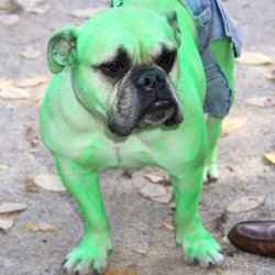 dorkly:  Hulk Pug Don't make him angry. You wouldn't like him when he's angry…because then he barks a lot and we're all out of Beggin' Strips.