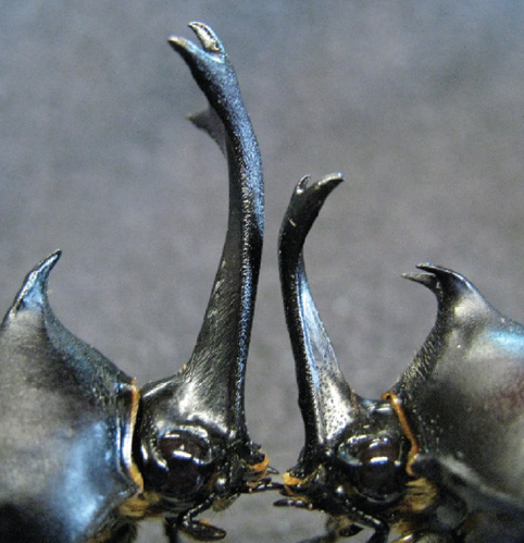 carlzimmer:  The evolution of insane beetle horns and other sexual ornaments. See: Why You Can't Fake A Good Horn | The Loom | Discover Magazine