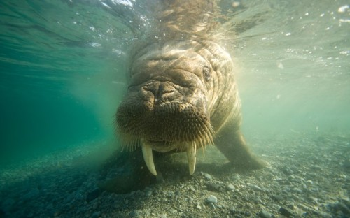 magicalnaturetour:  Underwater close-up of a young bull walrusPicture: Stephen Kazlowski / Barcroft Media via Telegraph :)
