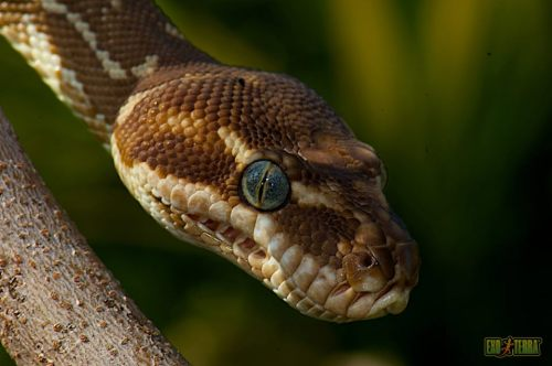 "capitaldeath:  Rough-scaled Python (Morelia carinata) Found in Australia, northwestern Western Australia in the lower sections of the Mitchell and Hunter rivers, just inland from the coast. The type locality given is ""Mitchell River Falls, Western Australia (14°50'S, 125°42'E)"".  They are found in rocky valleys of Kimberley region in far northern Western Australia where they climb on low trees and shrubs. So far reported to be strictly crepuscular. The temperament is quite docile with rarely any attempts to bite."