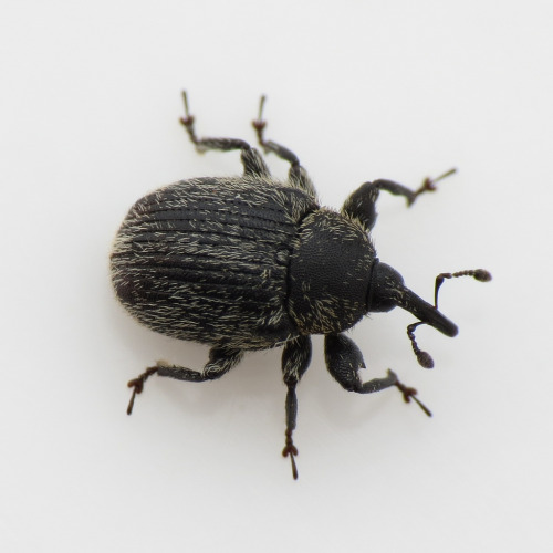 hicockalorum:  no one told me that weevils are actually cute.