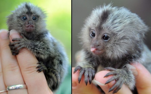 A newborn marmoset sits on the hand of a keeper at the zoo in Eberswalde, Germany. A marmoset gave birth to three young on June 29, but she could not feed the third one. so it is now being raised by hand. Picture: BERND SETTNIK/AFP/GettyImages