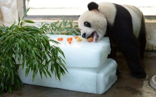 A panda keeps cool at a zoo in Wuhan city, central China's Hubei province by eating fruit and vegetables from a large block of ice Picture: Imaginechina / Rex Features