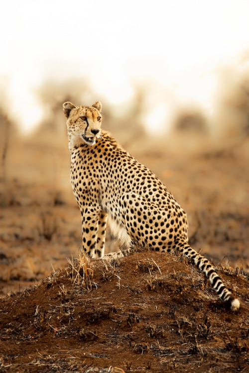 an-imalss:  Cheetah by Mario Moreno