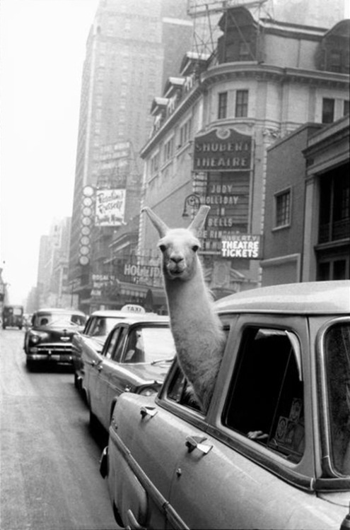 photojojo:  Today's humorous animal photo courtesy of Inge Morath! This iconic photo was orginally shot for a LIFE Magazine editorial. Check out the full story below!  A Llama in Times Square via FFFFOUND