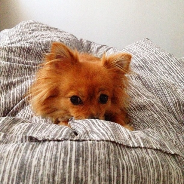 Trying to nap before I leave this baby fox for my boxing gloves. #pomeranian #sundance #adobo (Taken with Instagram)