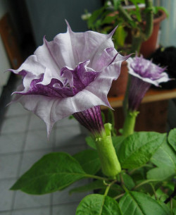 unfurled datura4 by oceandesetoiles on Flickr.