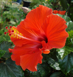 red-hot hibiscus by oceandesetoiles on Flickr.