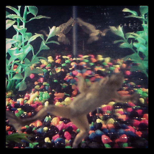 These are my frogs, Daisy and Galahad. (Taken with Instagram)