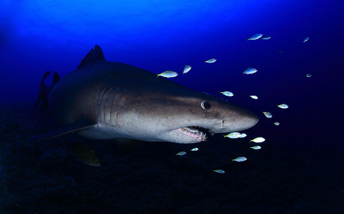 Smalltooth Sand Tiger by  Francis Pérez.