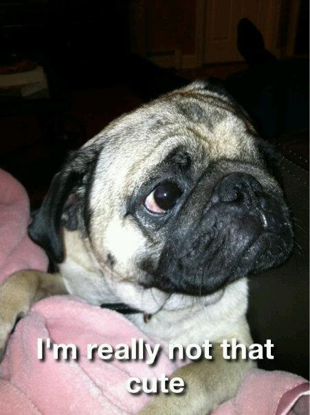 Oh don't be so modest, little pug. himynameisjillian:  the babyyy