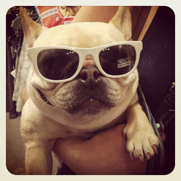 Holler. @bluestemdesign's baby. #frenchie #dogs #bulldog #dogstagram #pets (Taken with Instagram at Alberta Street Fair)