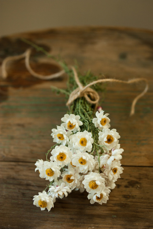 Helichrysum (by mellow_stuff)