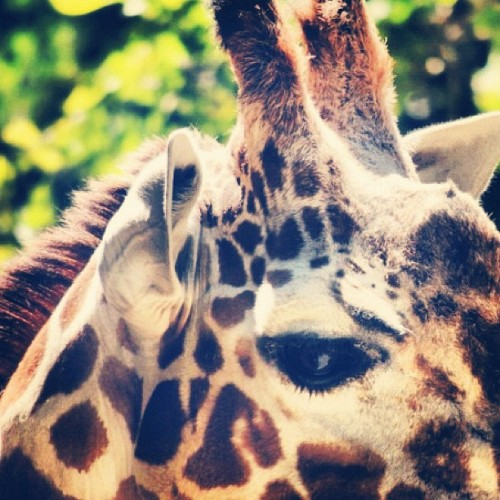 #giraffe #animal #zoo #closeup #yellow #spots #orange #eye #eyes #fur #tree #trees #green #leaves (Taken with Instagram)