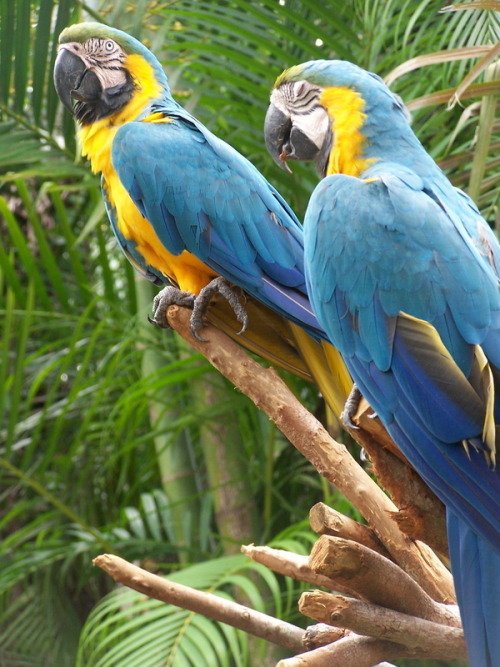 I absolutely LOVE blue and gold macaws