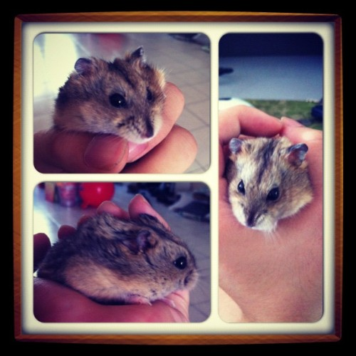 The Queen of da house :D #hamster  (Taken with Instagram)