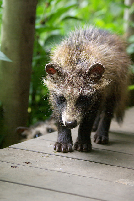 thepredatorblog:  Raccoon dog pup (by shien')