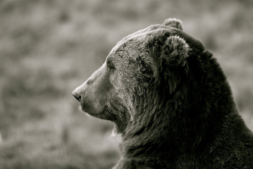 bear profile by Subcreation on Flickr.