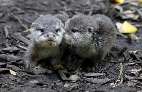 dailyotter:  Newborn Otters Get Olympic Names Via Zooborns, which writes:  Chester Zoo recently welcomed two tiny newborn baby Asian Small-clawed Otters to its fold. The water-logged pups have been appropriately named 'Daley', after U.K. Olympian diver Tom Daley, and 'Rebecca', in honor of Olympic swimmer Rebecca Adlington!