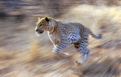 smithsonianmag:    Photo of the Day: A leopard is shown running with the use of slow shutter speed and panning camera techniques.  Photo by: David Cantrille (West Bexington, Dorchester, United Kingdom); Photographed September 2010, Kruger National Park, South Africa.