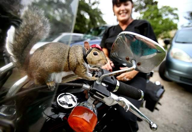 bunnyfood:  Zipper the Squirrel Loves Motorcycle Rides (via PostandCourier)  !