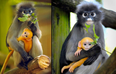 "Mother Dusky Langur and her newborn ""Wiggo"" at the Port Lympne Wild Animal Park in Kent, England by Phil Houghton"