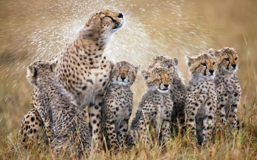 Cheetah Family Shower A mother cheetah shakes the rain off her fur after a shower, soaking her six cubs in the Masai Mara, Kenya (photo: Picture: Paul Mckenzie / Barcroft Media)