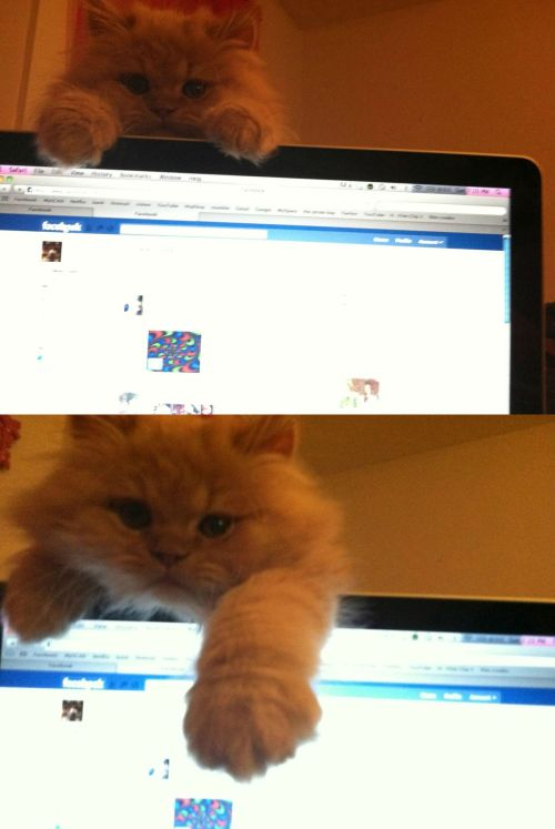 "catsbeaversandducks:  ""Get off the computer and play with me!"" Photo via Imgur"