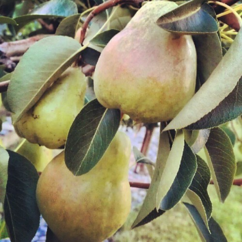 #pears #fruits #tree #leaves #nature #instanature #instagood #instacool #instafruits #fruitygram #summer #summergram #AMPt #awesome #cool #green  (Taken with Instagram)