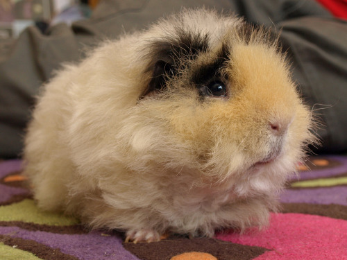 "Guinea Pig Regrets Switching Conditioners By Scott Friedstein, FluffPo Correspondent According to sources, Griff the guinea pig has been holed up in his hutch since Tuesday, refusing to leave after making quite possibly the worst hair care decision ever. Known for his impeccable grooming habits, Griff is said to have suddenly switched his conditioner to an unknown, generic brand. The results, to say the least, were horrific. ""It's pretty bad,"" says Hal Dunberg, a friend. ""He's basically just one big mass of fluff. I""ve never seen anything like it."" Asked what could have led Griff to abandon his original conditioner, Dunberg could only speculate. ""He might have just been trying to save some money. He'll come out eventually, though. Assuming the frizz dies down, of course."" Via Castaway in Scotland."