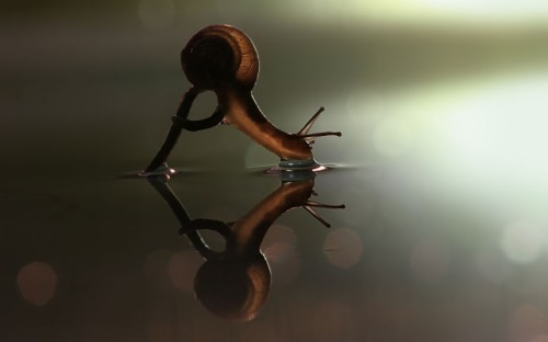 theanimalblog:  A snail perching on a mushroom dips its head into the water. Picture: Vadim Trunov / Barcroft Media