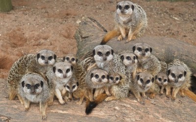 Four baby meerkats have been born at Bristol Zoo Gardens. At less than three weeks old, the tiny meerkats weigh around just 30g at birth and still have their eyes closed. They are being looked after around the clock by the rest of the meerkat group - which includes seven other youngsters born earlier this year. Picture: Bob Pitchford